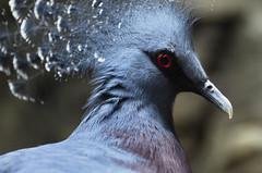Blue Bird (mikemcnary) Tags: blue portrait bird animal closeup zoo us unitedstates natural feathers southcarolina columbia crest crown avian