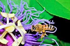Pollen pick-up (donjuanmon) Tags: black green nature colors yellow purple stripes bee theme pollen passionflower hmm hover pollenbasket passifloraincarnata macromondays donjuanmon detailsfrommyneighborhood corbilula