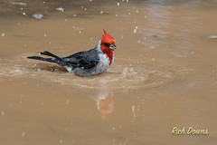 Red-crested Cardinal-5.jpg (rich_downs) Tags: park canon cardinal waikiki bathing kapiolani redcrested 7dm2