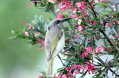 Brown honey eater (StaceyA42) Tags: brown honey grevillea eater