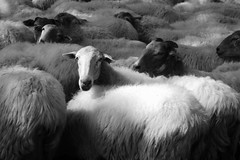 Ardiak, Suhuskune (Rhisiart Hincks) Tags: blackandwhite bw blancoynegro sheep agriculture euskalherria moutons basquecountry blancinegre paysbasque amaethyddiaeth defaid blancetnoir duagwyn gwladybasg amaeth nekazaritza labourdouar ardiak czarnobiae arvrovask zuribeltz feketefehr dubhagusbn gwennhadu nafarroabeherea siyahvebeyaz  paisvascos juodairbalta schwarzundweis  caoraich ernabl mustajavalkoinen laborantza deved suhescun  crnoibelo melnsunbalts tuathanachas negruialb dubhagusgeal duthaichnambasgach  rnoinbelo zwartenwit