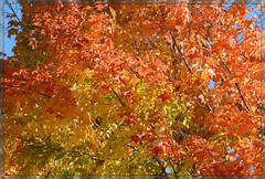 *** Fire Fall ~ IV. *** (Wolverine09J ~ 1 Million + Views) Tags: landscape naturesgarden naturesgallery autumnfire thebeautyofnature heartawards spiritofphotography shieldofexcellencelevel1 autumnhighlights frameit~level01 elmcreekfall peakingcolors maplesplendor