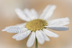 Daisy (L.H. Photos) Tags: light white plant up petals drops close dew daisy macroflowers dropplets