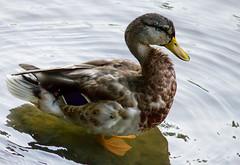 S-Curve (Pauline Brock) Tags: bird nature duck feathers mallard waterfowl femalemallard photochallengeorg