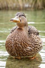 Ente-0192 (Holger Losekann) Tags: water animal duck wasser ente tier