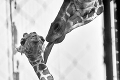 mother-and-baby-of-giraffe_121015 (kazua0213) Tags: zoo sigma giraffe merrill sd1