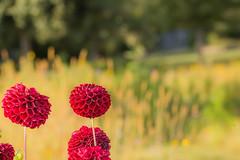 rote Blüten (thomaskappel) Tags: rote blten