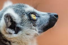 Aquário de São Paulo (mcvmjr1971) Tags: macro yellow brasil 50mm zoo eyes nikon sãopaulo sigma amarelo lemur olho nikkor fantasma 150mm lêmure d7000 aquáriodesp mmoraes
