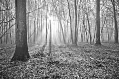 """through the trees"" (B.Graulus) Tags: trees blackandwhite sun sunlight tree fall nature monochrome forest canon landscape photography woods noiretblanc landschap lautomne"