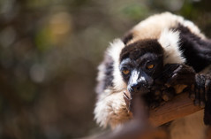 LEMUR-PARK-51 (RAFFI YOUREDJIAN PHOTOGRAPHY) Tags: park city travel trees plants baby white cute green animal fauna canon river jumping sweet turtle wildlife bricks mother adorable adventure explore lemur 5d lemurs bushes madagascar 70200 antananarivo mkiii