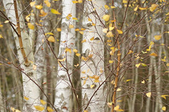 Horsell Birches (Rich Lukey) Tags: autumn trees white tree fall leaves yellow forest woodland 50mm woking nikon surrey birch birches horsell