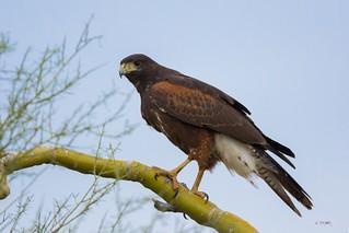 Harris's Hawk 001