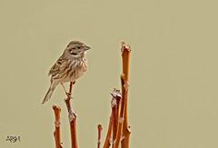 The White Capped Bunting (Arshad Aashraf) Tags: nature beautiful animal lover naturephotography birdslover birdsphotography