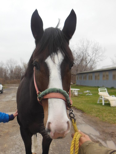 Smells Like Gold 2010 16 1h Dark Bay Gelding With Chrome