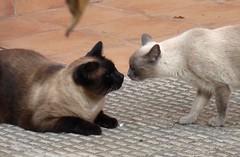 Patrasche & Judy (bego vega) Tags: madrid pet animal gato judy macho vega mascota vf gatita bv bego hembra patrasche