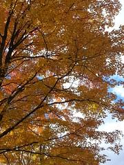 20151017_125431 (plussed) Tags: autumn fall maple foliage acer sugarmaple saccharum fall2015