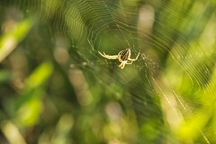 The Hunter (Ivo Angelov) Tags: spider hunter hunt persecution prosecution pursuit chase chasing nature naturesfinest specnature insects instantfave green bokeh pentax k5 tamron 2875 287528 2016 flickrsbest flickrcom ivoangelovphoto ivo photography photos photoshop goldenphotographer colors color