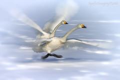 Motion (Ross Forsyth - tigerfastimagery) Tags: japan wildlife nature free avian birds lake ice snow winter island hokkaido lakekussharo whooperswan whooper swan motion slowshutterspeed action aperture f22