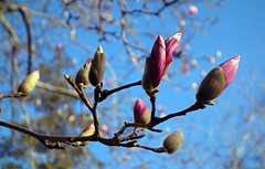 Memory of spring magnolias (neil.gilmour) Tags: spring magnolia flower bloom flowers blue sky blossoms blossom purple branches