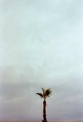 """Alone and Easy Target"" (Irene Stylianou) Tags: fuji fujica fujicaaxmultiprogram fujifilmcamera fujilens fujinon fujinonf19f50mm xfujinon xfujinonf19f50mmdm 50mm 50mmlens film 35mm filmphotography filmcamera analogcamera analogphotography filmforever kodak expired expiredfilm kodakektar100iso ektar sooc nophotoshop europe cyprus larnaca nature tree palmtree sky song songlyrics foofighters irenestylianou"