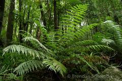 Ferns (Brendan Schembri) Tags: eungella nationalpark queensland australia frog endangered threatened brendanschembri