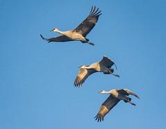 Follow the leader (alicecahill) Tags: nwr california sandhillcrane wild nationalwildliferefuge ©alicecahill crane bird sanluisnwr wildlife flying usa animal
