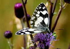 Marbled White Summer. (pstone646) Tags: butterfly insect nature wildlife animal fauna closeup beauty plant feeding kent flowers purple
