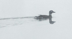 Long-tailed Duck (Wild Birdy) Tags: kabekona mn minnesota winter snow laporte lake usa hubbard