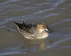 Hen Pintail (San Francisco Gal) Tags: pintail bird duck llanoseco water hen reflection