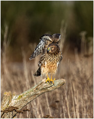 AN2I2468 (Pius Sullivan) Tags: raptor bird animal outdoors nature log grass