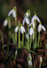 Snowdrops in Sonning Churchyard (baldychops) Tags: snowdrop snowdrops flower winter cold january nature natural delicate white grow growing church churchyard sonning berkshire sonningonthames visit low ground depthoffield dof standrew standrews saintandrew saintandrews outdoor eos7dmkii canon