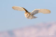 Barn Owl (Male) (m_Summers) Tags: utah wasatchfront winter northernutah nature marksummers male 2017 birdofprey owl bird animal bif barnowl wildlife raptor tytoalba birdinflight specanimal