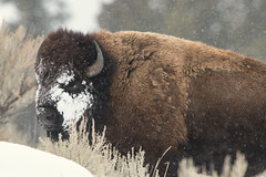 Bison  - Winter in Yellowstone National Park (dubrick321) Tags: animals bison yellowstonenationalpark yellowstoneinwinter bisoninthesnow bisoninwinter bisonsurvival yellowstonewildlife bisonsurvivinginyellowstoneinwinter snow cold outdoors nature