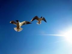 Free as a Bird (AmberPhotographs) Tags: birds sky sun blue vibrant chroicocephalusridibundus black headed gull