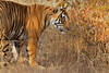 ADS_0000115745 (dickysingh) Tags: tigers cubs family noor wild wildlife bigcats ranthambore ranthambhorenationalpark