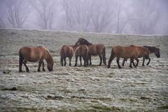 30-12-2016 - Oostvaardersplassen - DSC09354 (schonenburg2) Tags: oostvaardersplassen konikpaarden winter