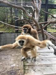 シロテテナガザル ルル (yuki_alm_misa) Tags: シロテテナガザル サル largibbon 白手手長猿 猿