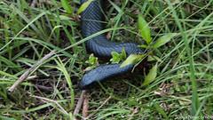 SLN_4396 (sonja.newcombe) Tags: snake redbelliedblacksnake australia wildlife snek
