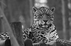 Jaguar (Allan Jones Photographer) Tags: jaguar bigcat feline dartmoorzoo sparkwell bw mono monochrome blackandwhite allanjonesphotographer canon5d3 canonef100400mmf4556lisusm canon14extender 560mm