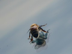 Beehind (timber1212) Tags: ebparksok ebrp coyotehills sfbayarea bee bugs beautiful window car