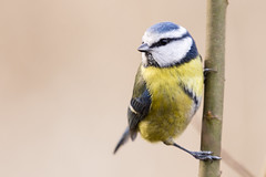 Blue tit (AdaMoorePhotography) Tags: bluetit bird wild wildlife nikon nature d7200 200500mm