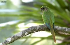 Maroon-bellied Parakeet (Pyrrhura frontalis) - Tapiraí-SP