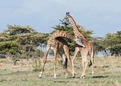 Boys will be boys! (tickspics ) Tags: africa giraffatippelskirchi iucnredlistvulnerable kenya maranorth maranorthconservancy masaigiraffe formerlygiraffacamelopardalistippelskirchi kilimanjarogiraffe