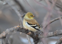 Male Goldfinch (DaPuglet) Tags: goldfinch finch finches gold male bird birds animal animals nature wildlife feathers fly tree branches ontario nikon 70300mm ngc npc