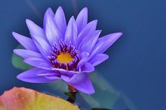 Glorious (stevelamb007) Tags: flower waterlily chicagobotanicgarden illinois nature pond stevelamb nikon d7200 nikkor18200mm