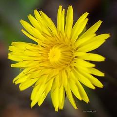 Asteraceae (HartLinker) Tags: yellowflower instagarden instaflower asteraceae taraxacum 365dayflowerchallenge macro