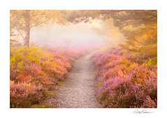 Heather Path (George-Edwards) Tags: landscape heather heathland moor purple pink flower nature snelsmorecommon countryside rural sunrise dawn daybreak light mist fog track path golden summer seasons woodland trees forest ferns berkshire england uk georgeedwards