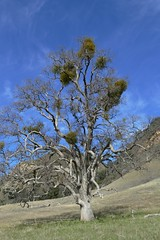 Large old valley oak with lots of mistletoe (openspacer) Tags: lospadresnationalforest montereycounty