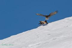 02-0485 (fix.68) Tags: bagare gypaètebarbu juvénile oiseau
