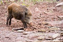 Wild boar (Cloudtail the Snow Leopard) Tags: wildschwein schwein wild boar swine pig eurasian wildpark pforzheim tier animal mammal säugetier